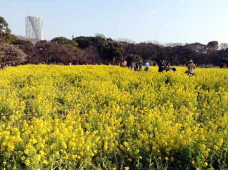 浜離宮庭園の菜の花