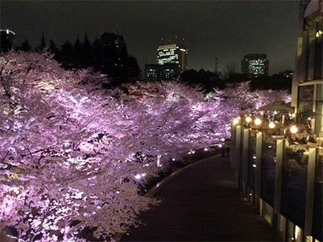 東京ミッドタウンの桜の木